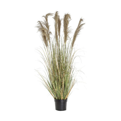 Pampas Grass with 7 Heads