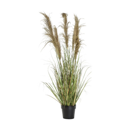 Pampas Grass with 5 Heads