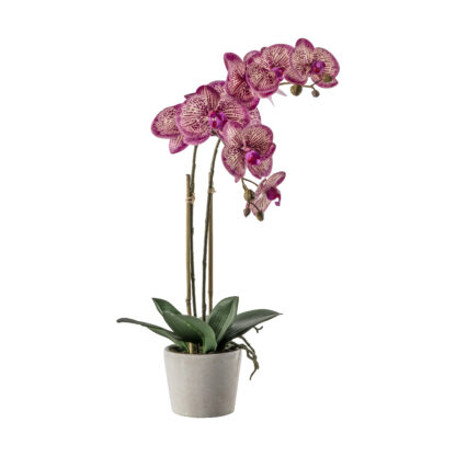 Orchid Pink with Ceramic Pot