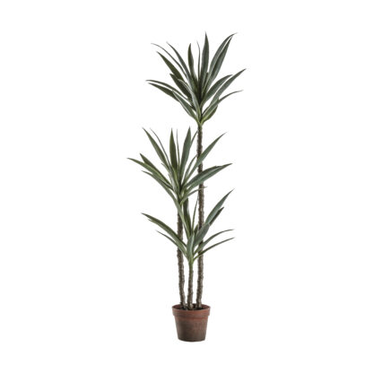 Yucca Tree with 3 Heads