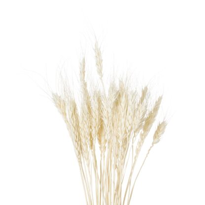 Dried White Wheat Bunch Of 20